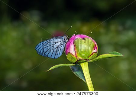 Butterfly With Blue Wings Sitting On Bud Of Peony - Macro