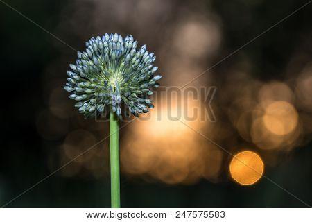 Bud Of Wild Garlic On Sunset Background - Macro