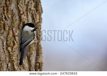 A Black-capped Chickadee On The Side Of A Tree With Open, Light Space To The Right.
