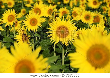 Sunflower And Blur Sunflowers Field For Floral Summer Background