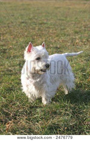 White Dog11