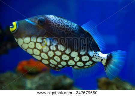 Clown Triggerfish, Spotted Triggerfish Swims In The Aquarium.