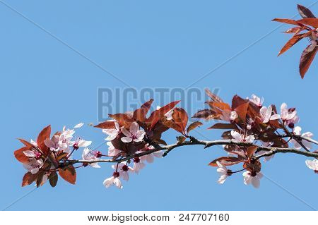Spring Cherry Blossoms, Pink Flowers On A Blue Sky. Spring Floral Background. Cherry Flowers Blossom