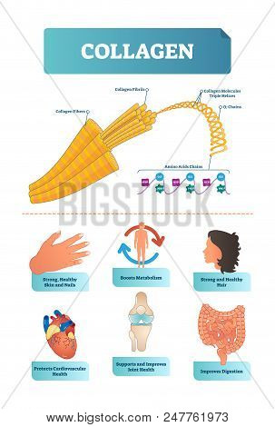 Vector illustration about collagen. Metabolism and cardiovascular health diagram. Medical scheme with fibers, fibrils, molecules, helices, alpha and amino acids chains with HYP and GLY visualizations poster