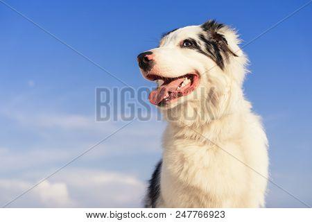 Portrait Australian Shepherd Dog Aussie Smiling Against The Blue Sky On A Sunny Day