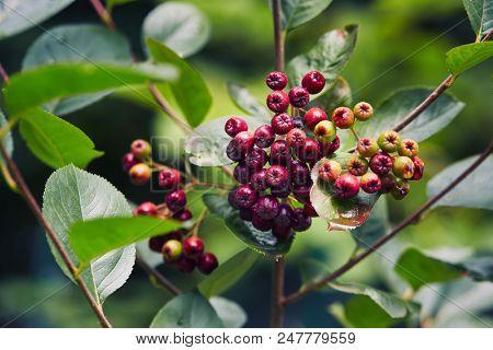 Unripe aronia berries (Aronia melanocarpa, Black Chokeberry) growing in the garden. Aronia berries beginning to turn color.  poster