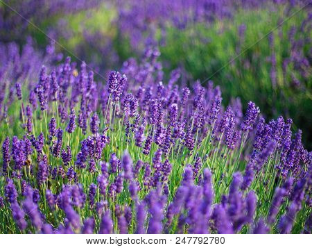 Lavender bushes closeup on sunset. Sunset gleam over purple flowers of lavender. Bushes on the center of picture and sun light on the left. Provence region of france. poster