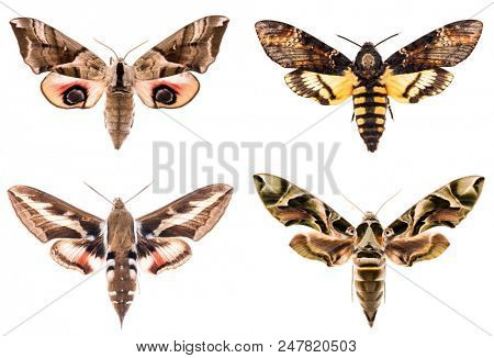 Set of four Sphingidae hawk-moths night moths - Smerinthus ocellatus, Daphnis neri, Hyles gallii, Acherontia atropos isolated on white
