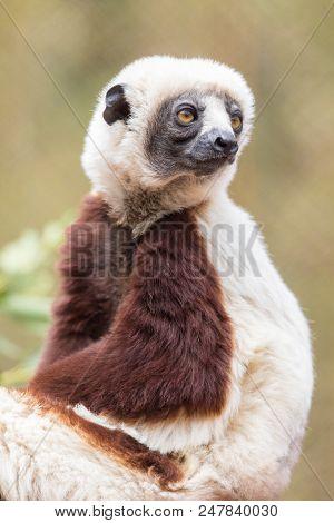 Coquerels Sifaka Posing. The Coquerels Sifaka Is A Diurnal, Medium-sized Lemur Of The Sifaka Genus P