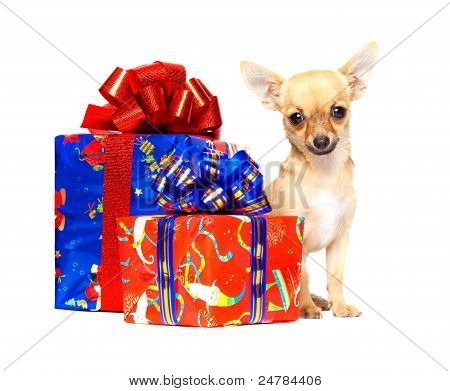 Young Chihuahua Puppy With Christmas Gifts