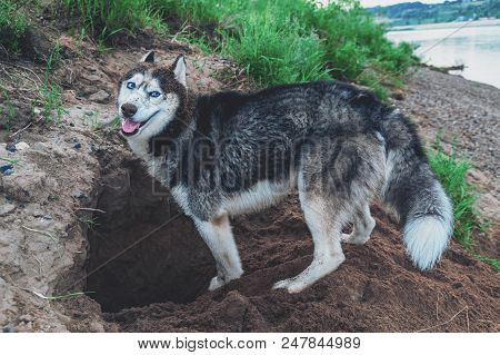 Cute Dog Digs The Ground. Smiling Face Husky Dog In The Sand. Crafty Muzzle Siberian Husky.