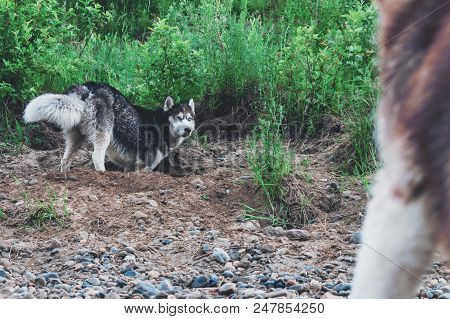 Cute Dog Husky Digs Pit In The Ground. Muzzle Doggy In The Sand. Crafty Face Siberian Husky.