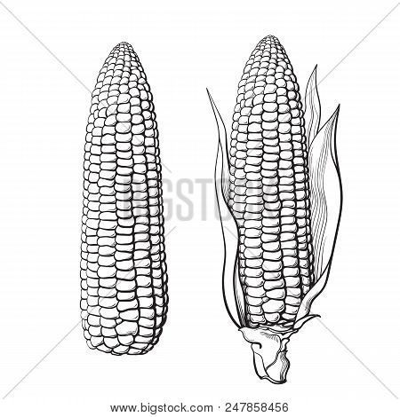 Sketch Of Two Corn Cobs. With Leaves And Without. Ear Of Corn. Hand Drawn Vector Illustration Isolat
