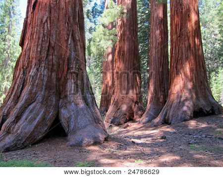 Roots of giant sequoia trees