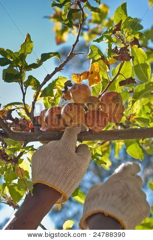 Picking up ripe apples