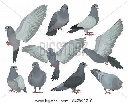 Grey Pigeons Set, Doves In Different Poses Vector Illustrations Isolated On A White Background.