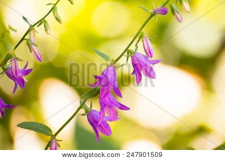 Close up Photo of Beautiful Campanula Flowers on the Bright Blurred Green Background.