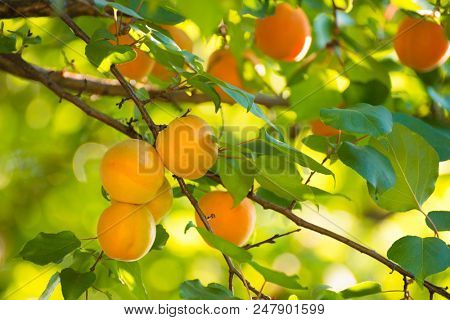Ripe Sweet Apricot Fruits on the Branch among Green Leaves at Warm Sunny Day
