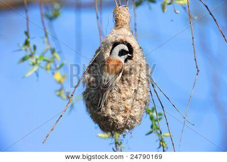 Bird Penduline Tit on a nest