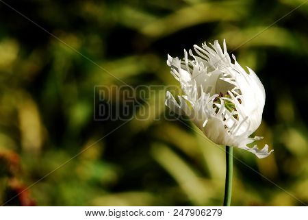 White Poppy Flower On Blur Background, Flowering Plant, Poppy Flower Pattern, Poppy Flower Texture,