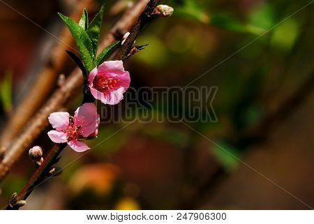 Pink Peach Flower On Branch In Spring, Flowering Plant, Peach Flower Pattern, Peach Flower Texture,