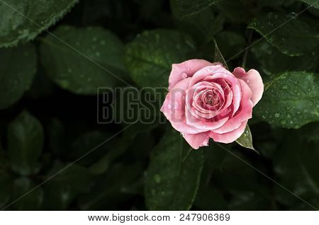 Small Pink Rose Flower With Raindrop, Valentine Concept, Pink Rose, Pink Rose Flower, Small Rose Flo