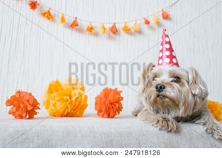 Cute Yorkshire Terrier (Yorkie) Dog in red party hat cap lies on table on the background of festive garland and decor. After party, When the party is over, holiday ended. poster