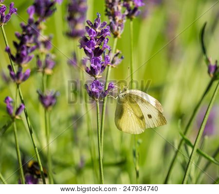 Close-up Of A Cabbage White Butterfly (pieris Rapae) Who Sits Peaceful On A Blooming Lavender. Side