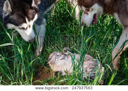 Dogs Surrounded Frightened Cat. Concept Enmity Cats And Dogs. Two Husky Attacked A Sizzling Cat Rais