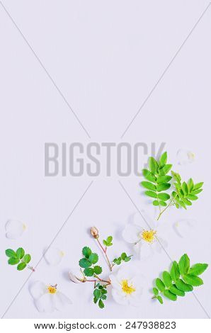 Spring flower background with composition made of spring white rose flowers on the white wooden background. Flat lay, top view, free space for text. Spring floral background