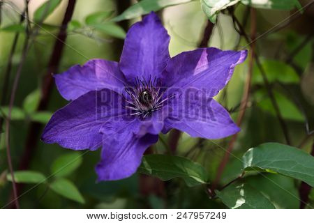 Close-up Of Of Lilac Clematis Flower Climbing Plant In The Summer Garden. Macro Photography Of Natur