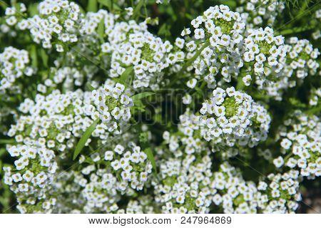White Flowers Of Lobularia Maritima Blossoming In Garden. Sweet Alyssum Or Lobularia Maritima. White