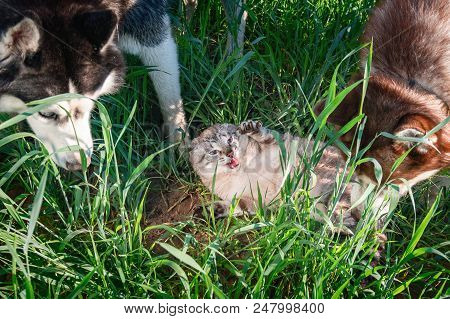 Cat Vs Dogs. Concept Of Hostility, Unfriendly. Husky Dogs Attacked Cute Siamese Cat.