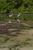 two Black-necked Stilt (Himantopus mexicanus) birds in a tropical lake in Antigua Caribbean poster