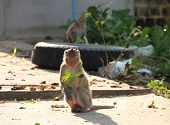 Crab-eating monkey or Long-tailed Macaque in tropical rain forest park is sitting on the floor and holding green vegetable leaf in hand poster