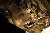 Tiger Monster