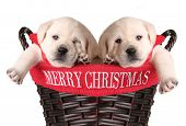 Merry Christmas puppies in a basket. poster