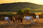 White and brown horses pasturing in the countryside at sunset poster