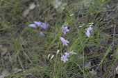 blooming of peach-leaved bellflower. plant with oblong lilac-blue fragile nice flowers. closeup poster