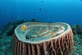 a green turtle (Chelonia mydas) sitting in a huge barrel sponge in a tropical reef poster