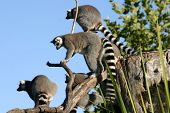 Family of Ring-tailed Lemurs on the alert. poster