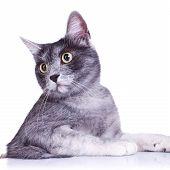 cut out image of an adorable grey cat with great eyes on white background poster