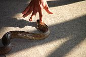 Forefinger is intimidating over king cobra snake head poster