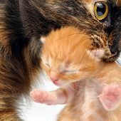 Mother cat with newborn kitten in her mouth. Studio shot. poster