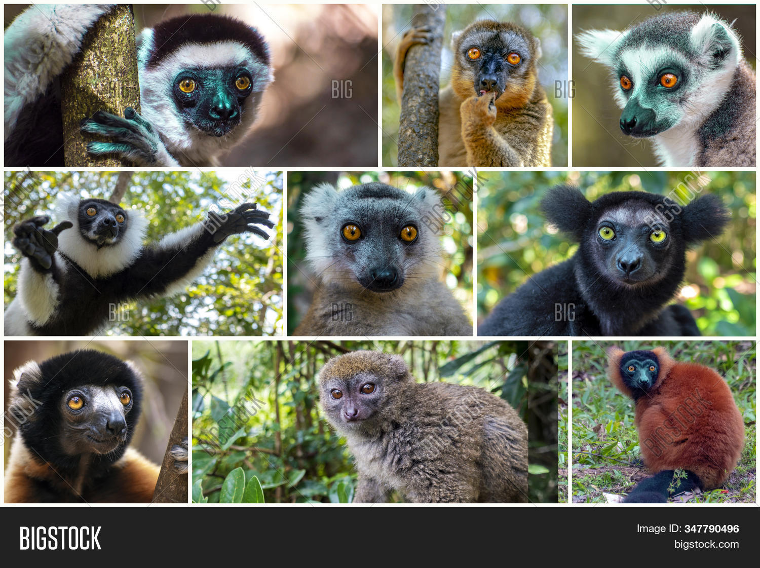 Collage Of Beautiful Lemurs, Different Types Of Lemurs - Endemic. Species Which Is Restricted To A S