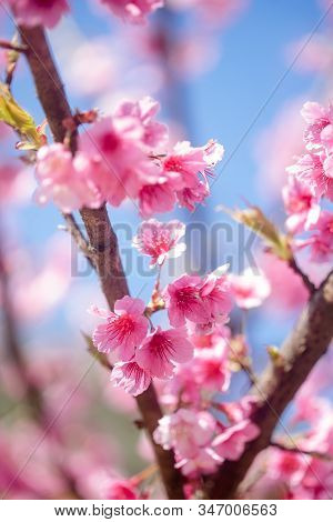 Pink Blossom Sukura Flowers On A Spring Day