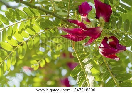 Red Vegetable Humming Bird Sesban Agasta (sesbania Grandiflora Desv) On Tree In Nature Background.
