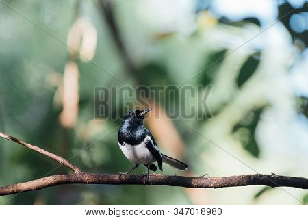 Bird (oriental Magpie-robin Or Copsychus Saularis) Male Black And White Color Perched On A Tree In A
