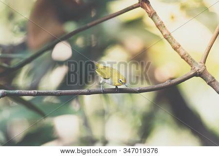 Bird (swinhoe's White-eye) In The Nature Wild