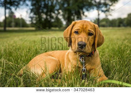 Pure Bred Pedigree Red Fox Retriever Puppy Sat In A Green Field